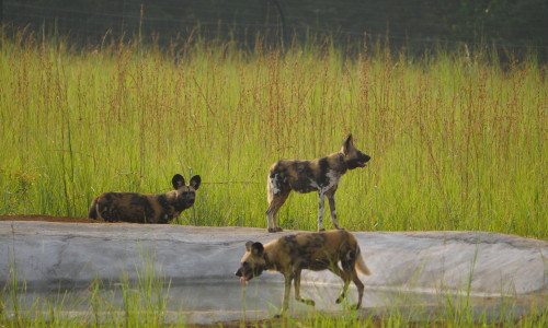 African painted dogs closed to a pond in Gabon